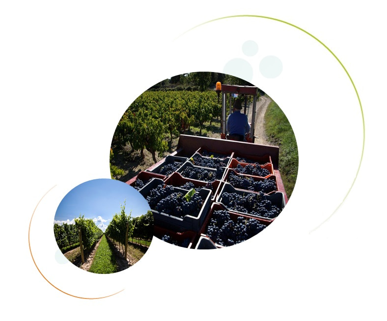 Grapsud grape harvest